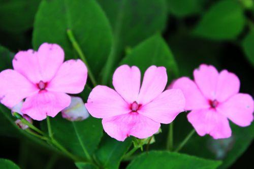 Violet Flowers 3