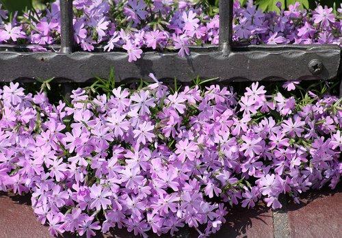 violet flowers  spring  spring flowers