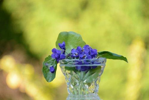 Violetiniai, gėlė, Violetinė, pavasaris, pobūdį, augalų, violetinė, Velykų, violetinė gėlė, Sodas, makro