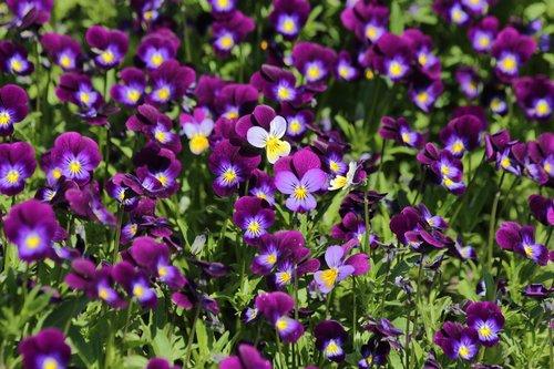 violets  summer flowers  garden flowers