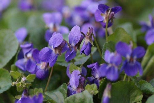 violets  purple  kvítek