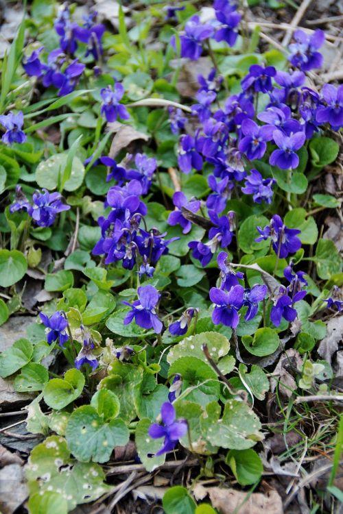 violets violet florets