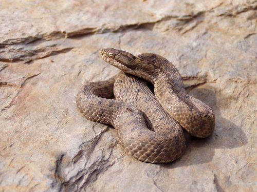 viper snake aspid