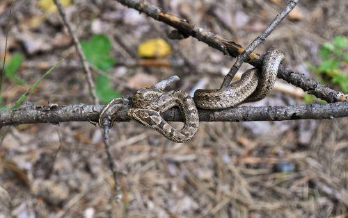 viper poisonous snakes