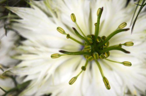 virgin in the green nigella flower