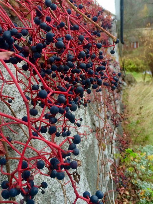 virginia creeper berry foundations