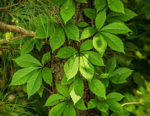 virginia creeper parthenocissus quinquefolia five leaved ivy