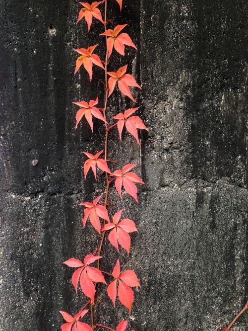 virginia creeper wall red