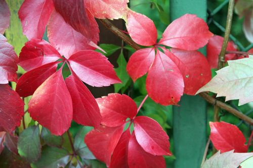 virginia creeper autumn leaves colors of autumn