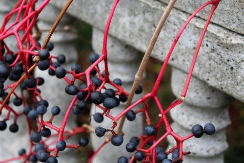 virginia creeper fruit winobluszczu wild wine