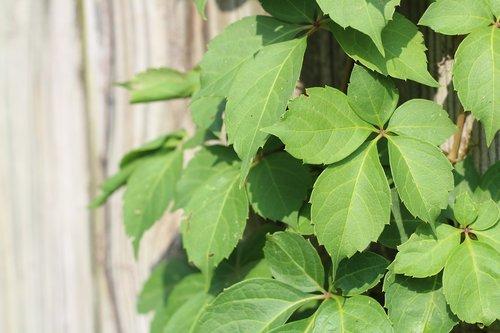virginia creeper  ivy  vine