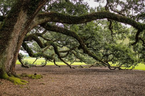 virginia live oak southern live oak oak tree