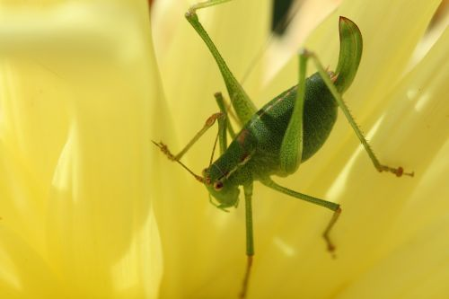 viridissima grasshopper nature