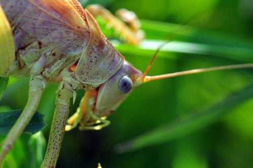 viridissima grasshopper compound