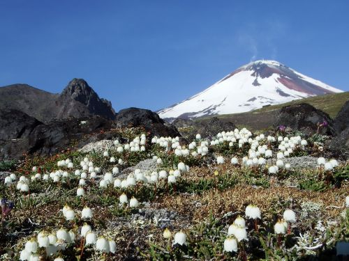 volcano the foot flowers