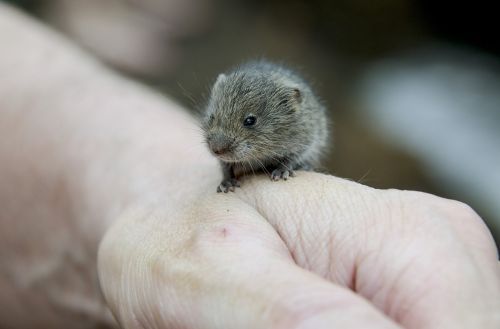 vole rodents hamster
