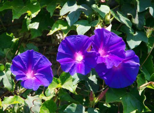 volubilis convolvulacée blue flower