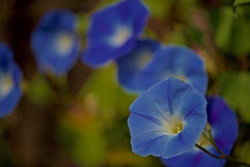 volubilis  flowers  nature