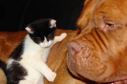 kačiukas, šuo & nbsp, de & nbsp, bordeaux, šuo, katė, Draugystė, Draugystė