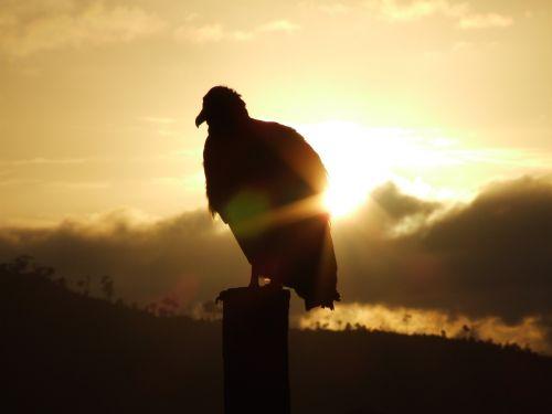 vulture sunrise against light