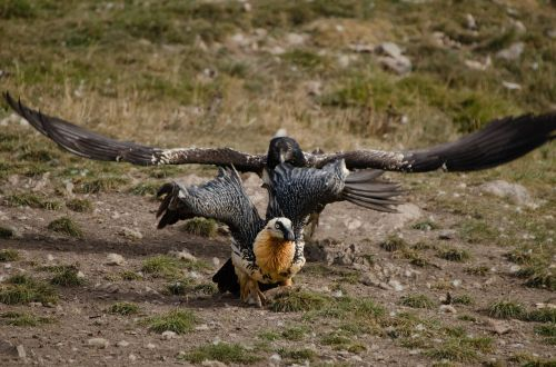 vulture adler scavengers