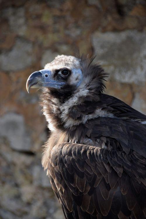 vulture black vulture falkner