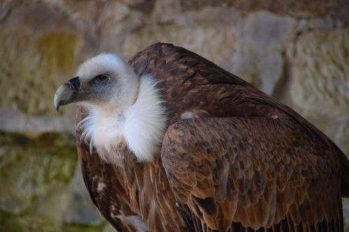 vulture black vulture raptor