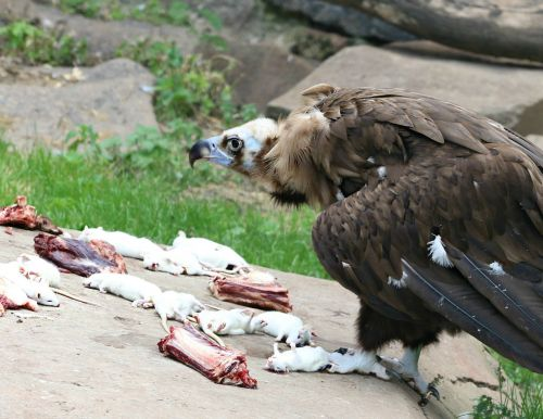 vulture eagle rat