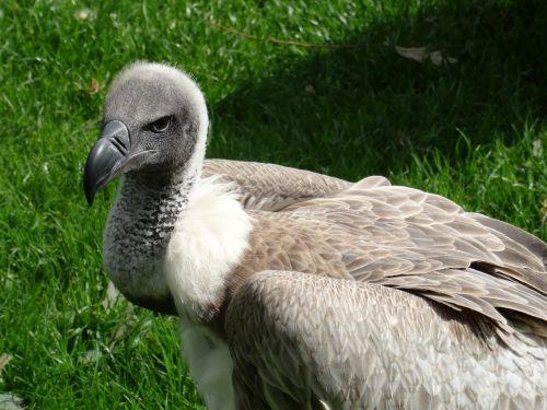 vulture wilture hooded