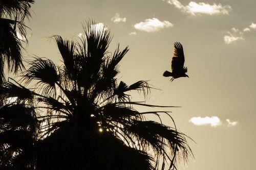 grifas,siluetai,laukinė gamta,gamta,paukštis,skraidantis,saulėlydis,marios oazė,Joshua medžio nacionalinis parkas,Kalifornija,usa,medis,debesys,laukiniai,kraštovaizdis