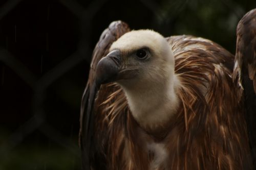 vulture condor animal