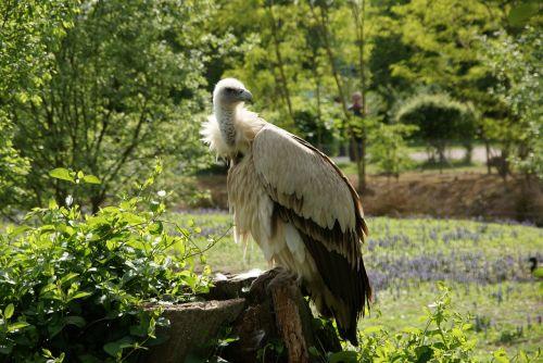 vulture himalaya animal