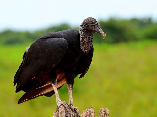 vulture brazil the pantanal