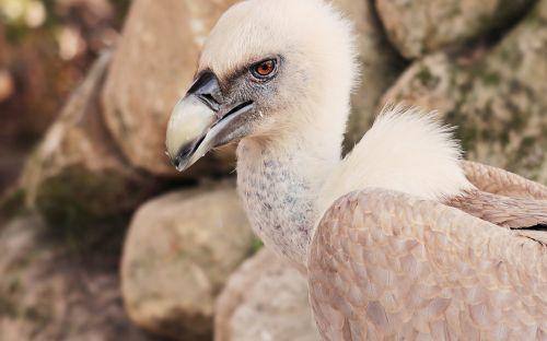 vulture bird scavengers
