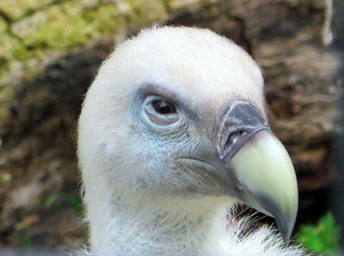 vulture griffon vulture gyps fulvus