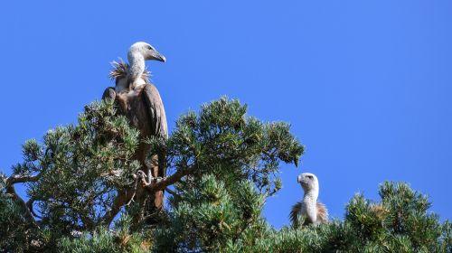vulture raptor bird