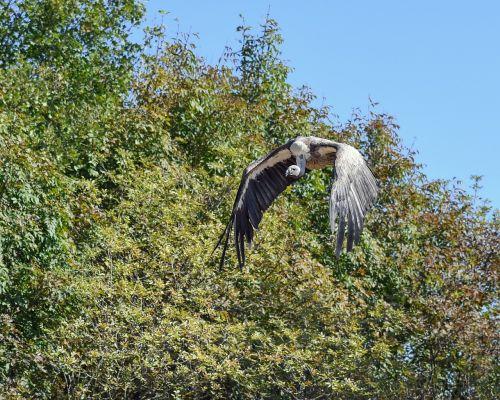 vulture fly raptor