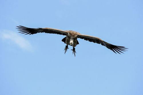 vulture fly landing