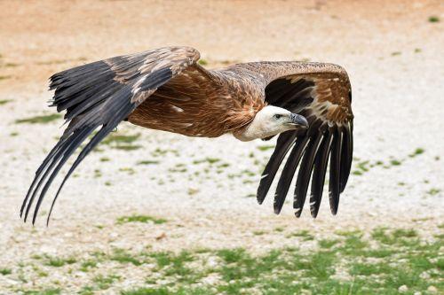 vulture fly soil