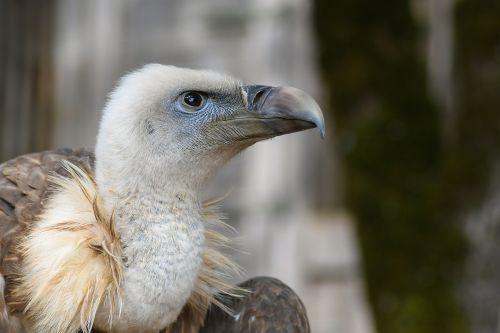 vulture head close up