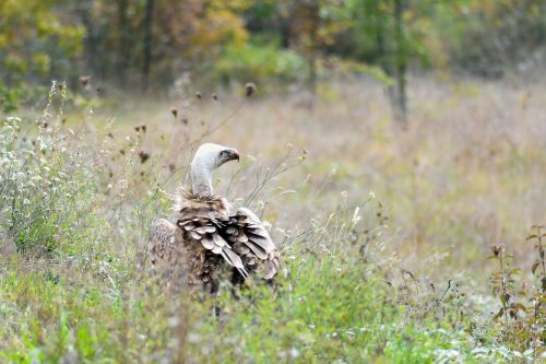 vulture nature raptor