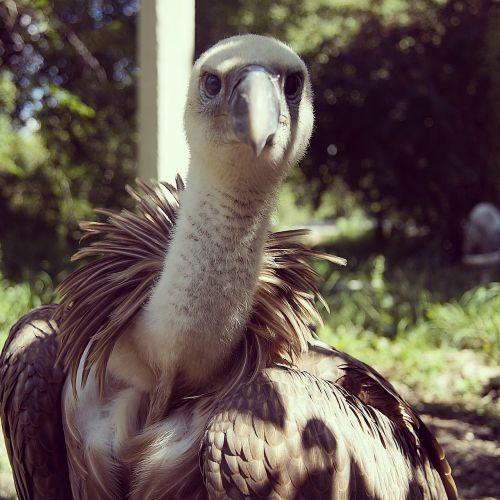vulture bird scavenger