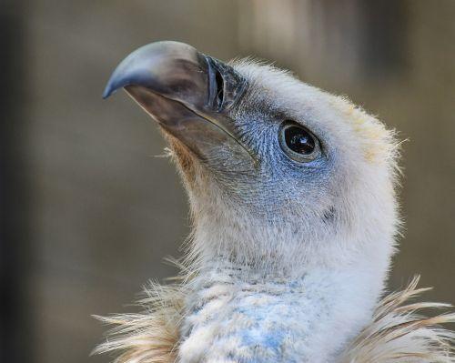 vulture raptor scavenger