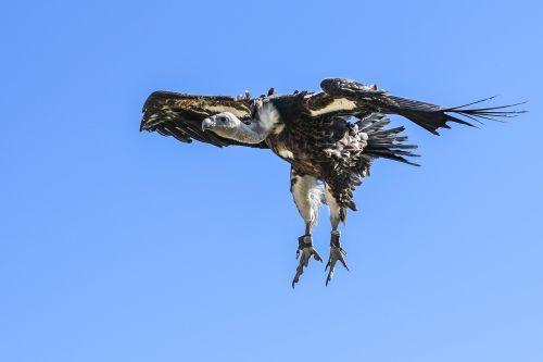 vulture flight landing
