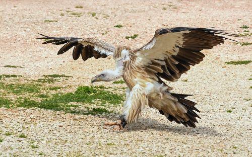 vulture landing raptor