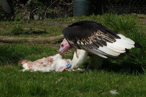 vulture  bird of prey  prey