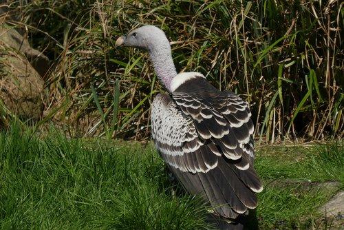 vulture  bird of prey  zoo