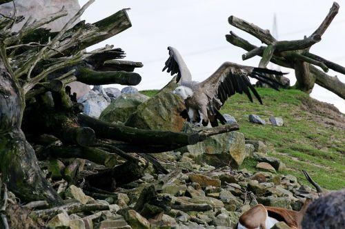 vulture griffon vulture scavengers