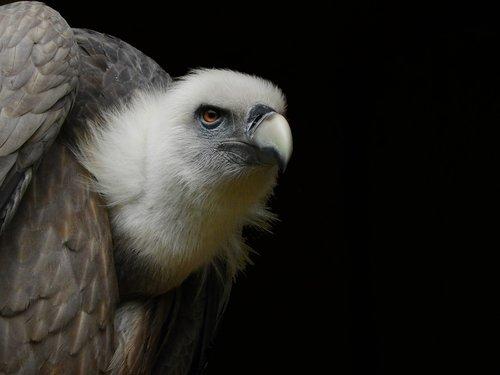 vulture  raptor  bill