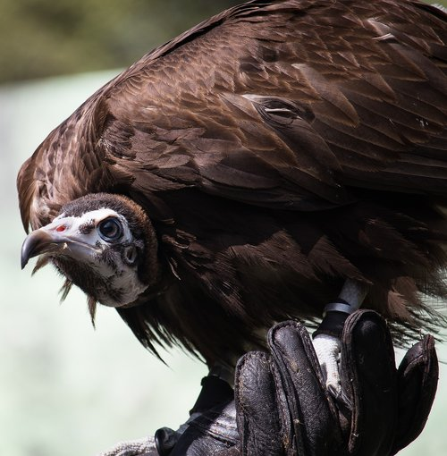 vulture  raptor  bird
